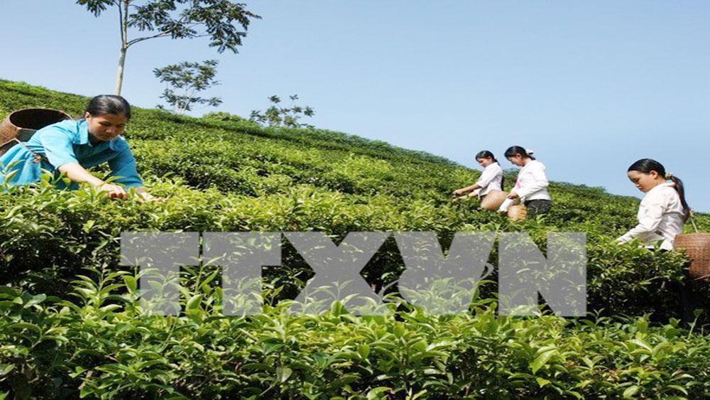 Vietnamese tea, choosy markets, discerning markets, Vietnamese tea businesses, local trade promotion network, good quality