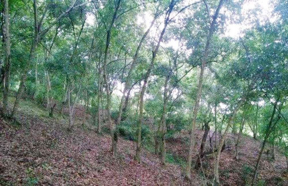 Lục Nam: Trích ngân sách hỗ trợ bảo vệ hơn 1 nghìn ha rừng dẻ tái sinh