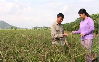 Nhữ Văn Tâm- Tiên phong với giống lúa thảo dược