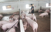 Tăng hơn 40 nghìn con lợn