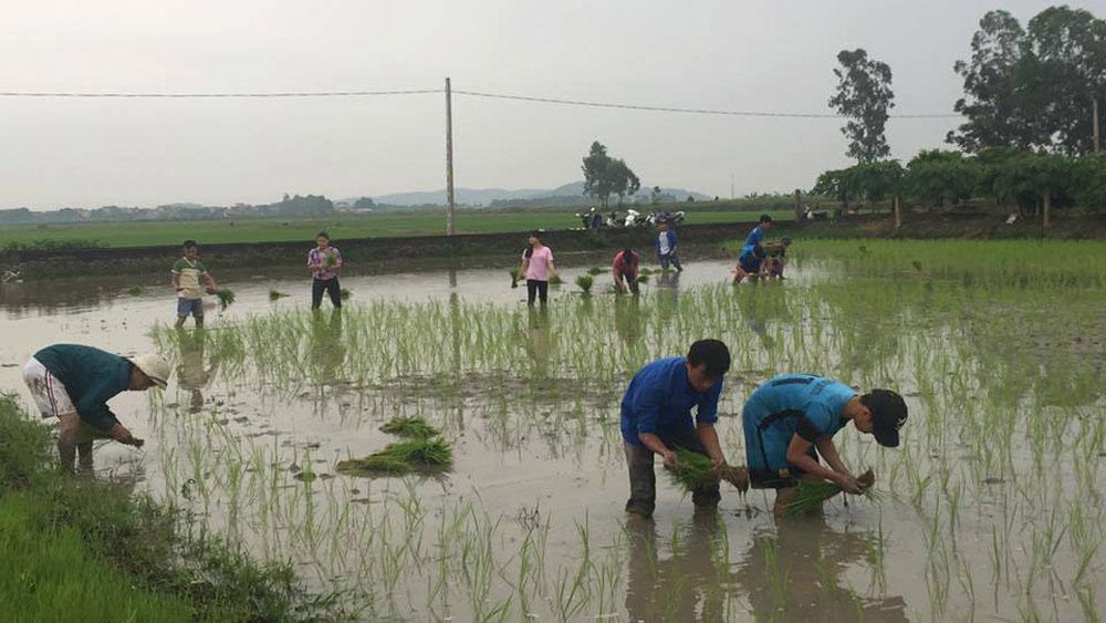Xã Cảnh Thụy cấy thử nghiệm giống lúa KB99 Nhật Bản