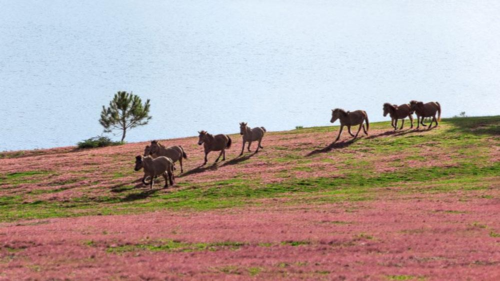 Náo nức với mùa hội cỏ hồng đầu tiên ở Đà Lạt