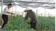 Khởi động nông nghiệp công nghệ cao ở Lạng Giang
