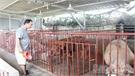 Triển khai các giải pháp ngăn chặn việc tiêm thuốc an thần vào lợn trước khi giết mổ