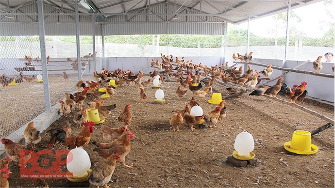 New opportunities for Yen The hill chicken breeding