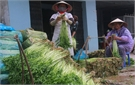 Mỗi ha rau cần thu hơn 500 triệu đồng