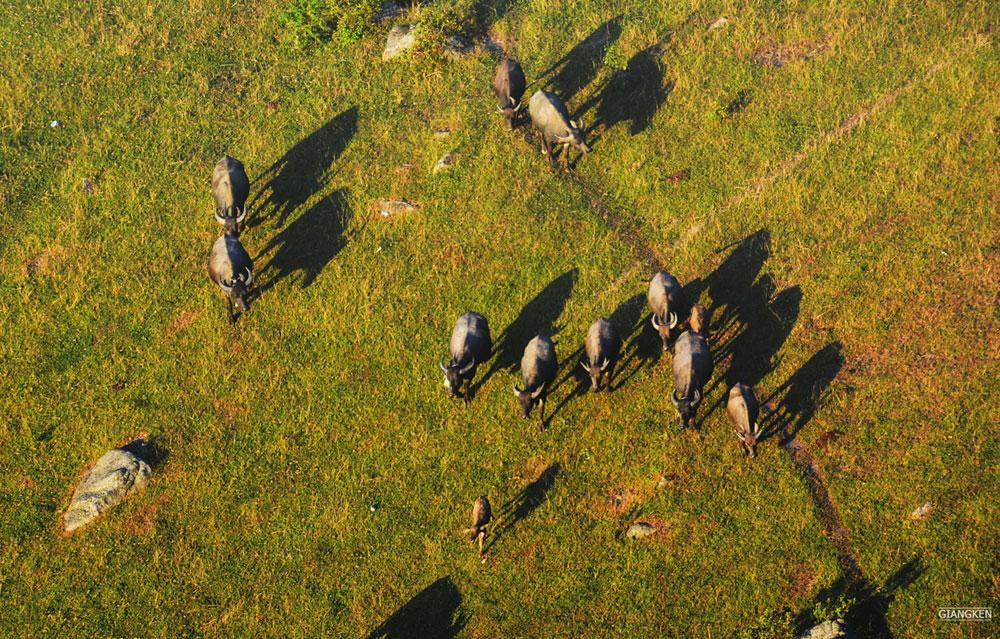 Những mục đồng lùa trâu lên ăn cỏ.
