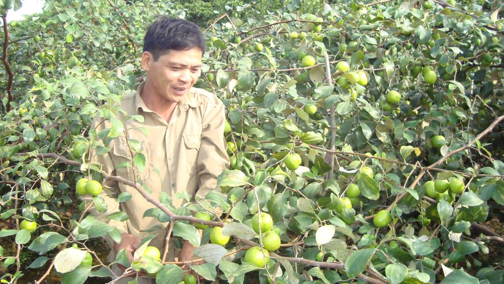 Diện tích táo lai tăng hơn 200 ha