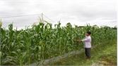 Hỗ trợ gần 400 triệu đồng cho các vùng trồng ngô