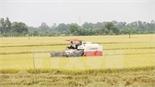 Sản lượng lúa hè thu của cả nước ước đạt 11,5 triệu tấn