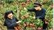 Vải thiều Lục Ngạn được cấp văn bằng bảo hộ tại Mỹ