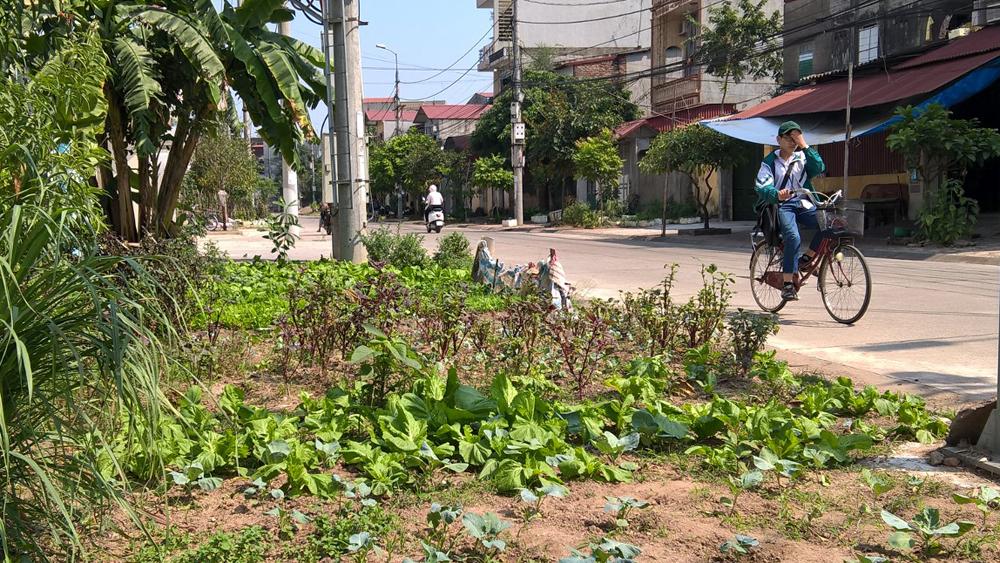 Những vườn rau sát đường giao thông không hiếm trên địa bàn TP Bắc Giang.