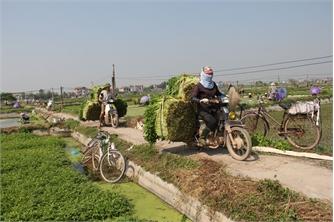 Hoàng Lương mùa thu hoạch rau cần