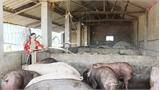 Phát triển chăn nuôi bền vững gắn với giải quyết ô nhiễm môi trường