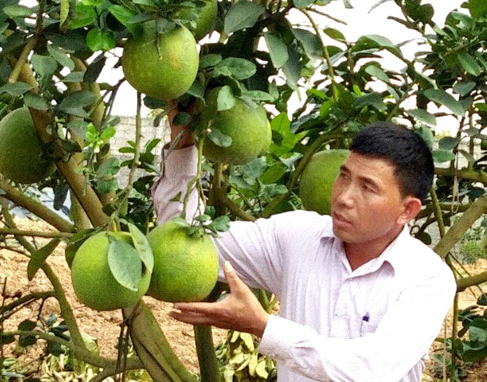 Có 2 nhà vườn Lục Ngạn thu 3 tỷ đồng từ bưởi da xanh
