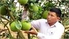 Lục Ngạn: Hai nhà vườn thu khoảng 3 tỷ đồng từ bưởi da xanh