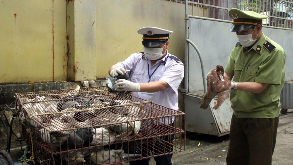 Vận chuyển 600 con chim bồ câu không có giấy chứng nhận kiểm dịch