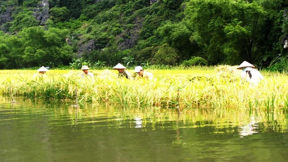 Sông Ngô Đồng mùa lúa chín