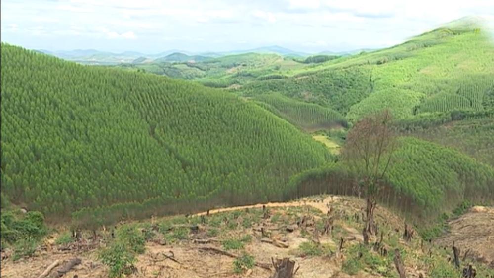 Thu gần 80 tỷ đồng từ khai thác rừng trồng kinh tế
