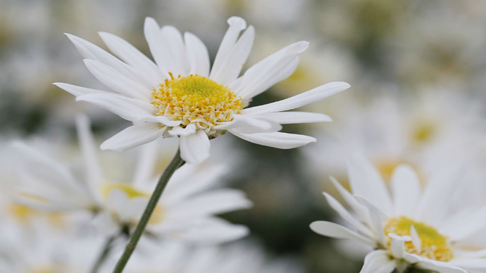 Winter wonderland: Daisy season brightens spirits in Hanoi