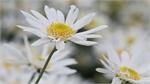 Winter wonderland: Daisy season brightens spirits in Hanoi
