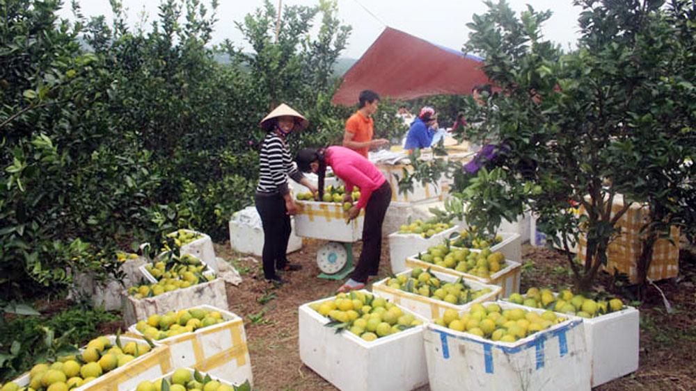 Thu hoạch cam tại một trang trại ở Lục Ngạn.