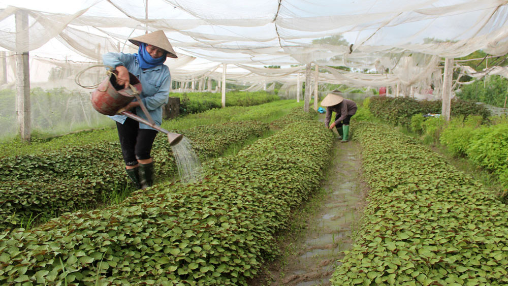 Da Mai ward, safe agricultural production, trading cooperative, initial economic effectiveness, Bac Giang province, signature agricultural products, food safety, hygiene regulations