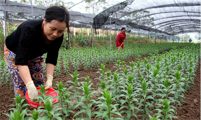 Growing precious flower for Tet holiday