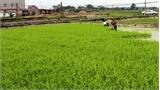 Rau cần VietGAP ở Bắc Giang thu lãi hơn 130 triệu đồng/ha