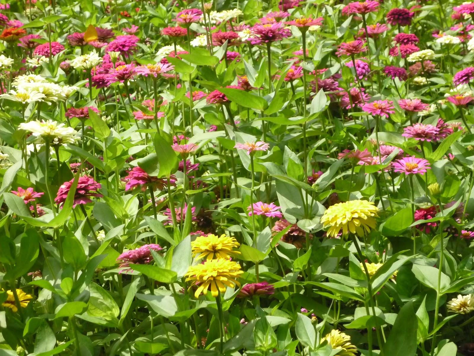 Gợi ý, những loài cây, có hoa, dễ trồng, cho khu vườn, nhà bạn