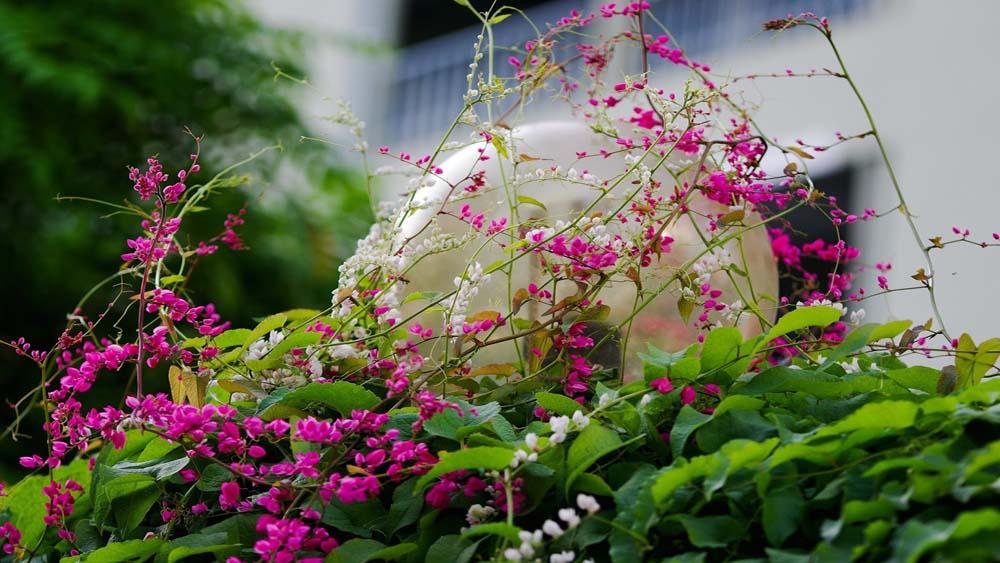 Kỹ thuật trồng hoa tigon tạo không gian nhà đẹp và lãng mạn
