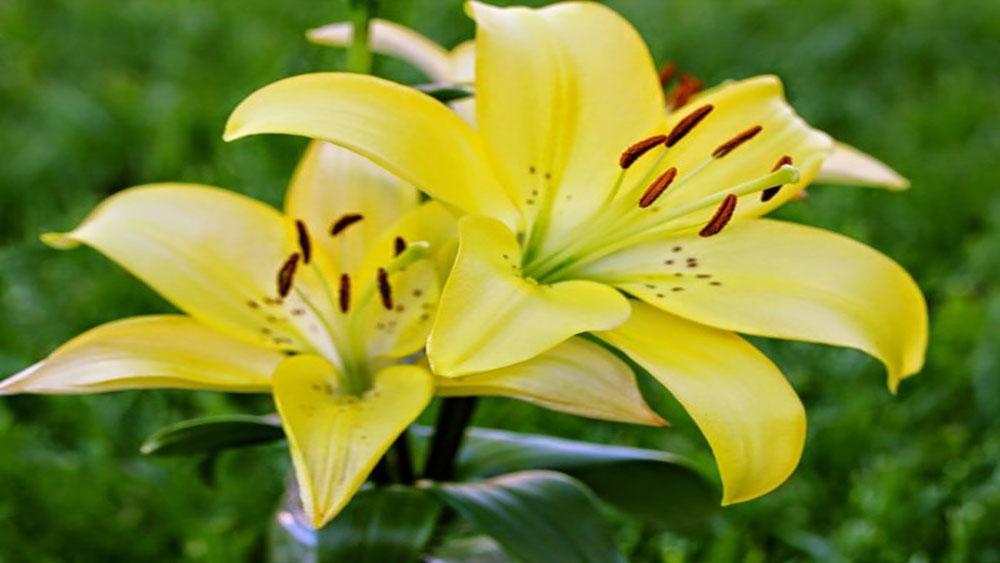 Kỹ thuật trồng , chăm sóc, hoa ly, dịp Tết, Hoa ly
