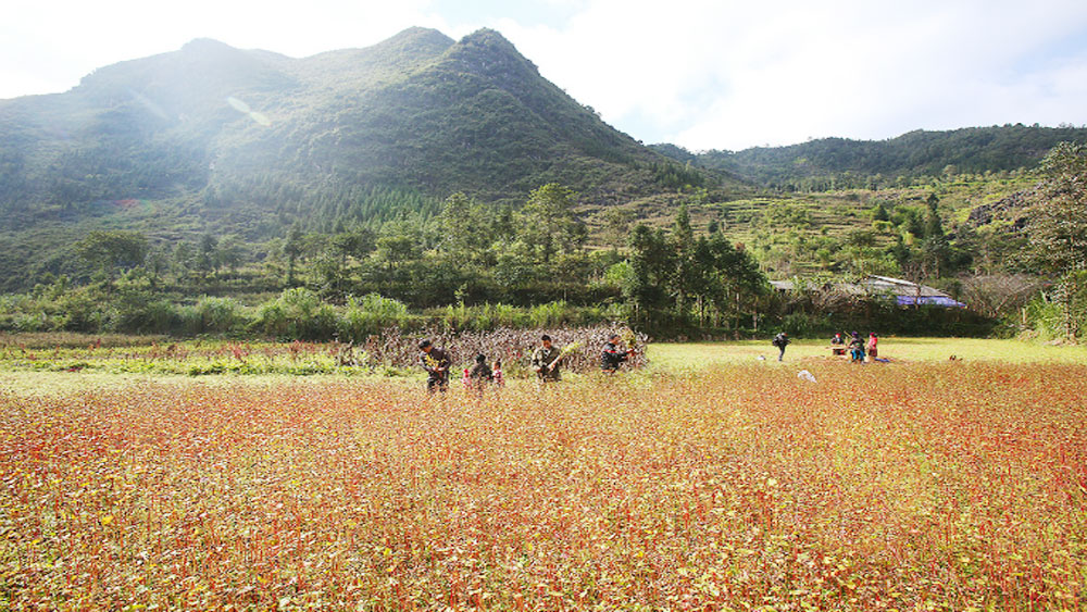 Northern Vietnamm, buckwheat harvest, vast fields, food - plain, Year-end, Ha Giang Province, delicate flowers, buckwheat flowers