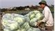 Nông sản vụ đông: Giá cao, bán chạy
