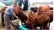 Nhiều biện pháp chống rét cho vật nuôi