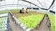 Sản xuất nông nghiệp công nghệ cao: Tăng hiệu quả,  giảm phụ thuộc vào thời tiết