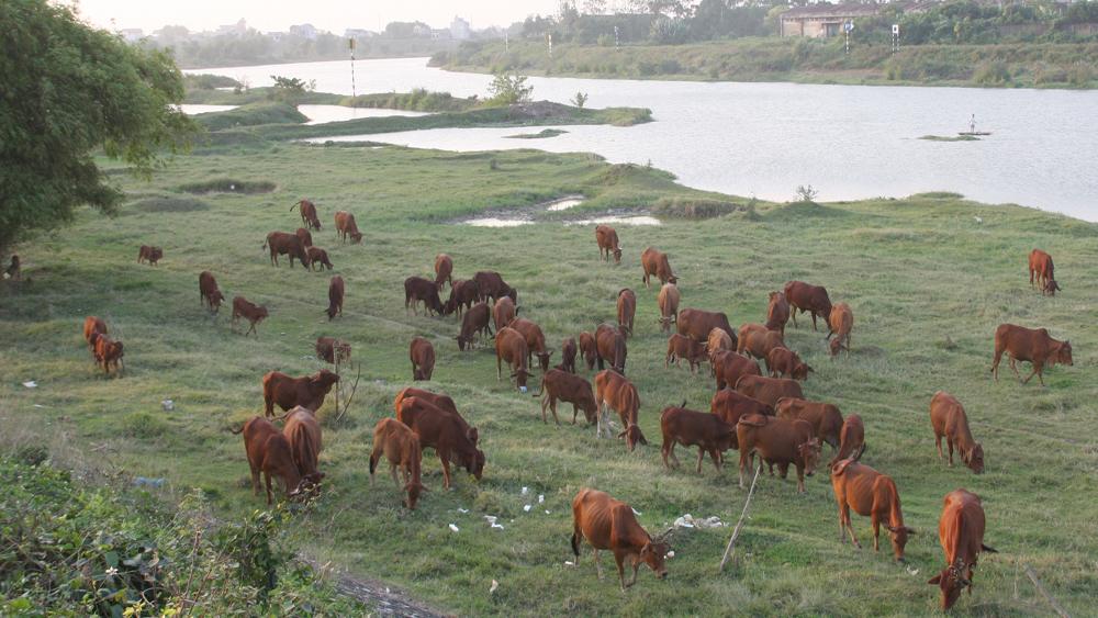 Tăng thêm gần 1.000 con bò