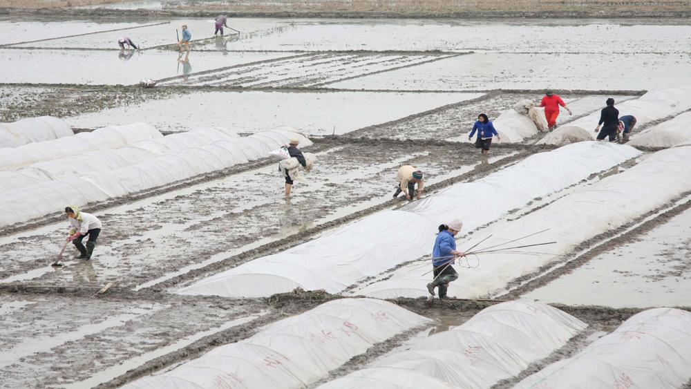 Gieo trồng hơn 8 nghìn ha vụ chiêm xuân