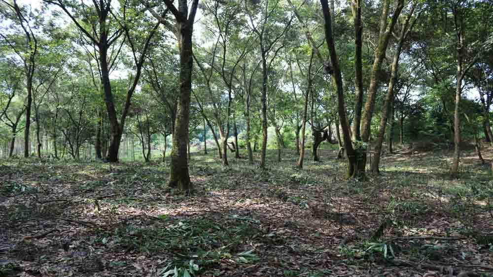 Lục Nam: Nâng mức hỗ trợ công trông nom, bảo vệ rừng dẻ tự nhiên