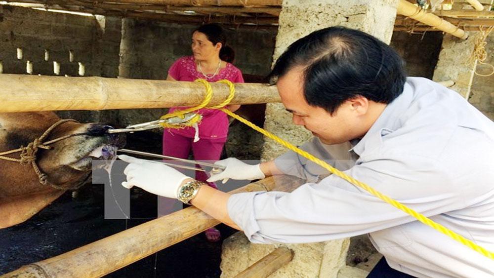 Sắp lưu hành vắc xin lở mồm long móng do Việt Nam sản xuất