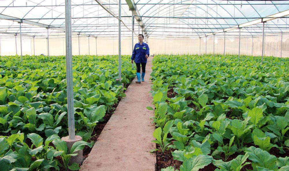 Khu sản xuất rau CNC của gia đình anh Vũ Tiến Trường.