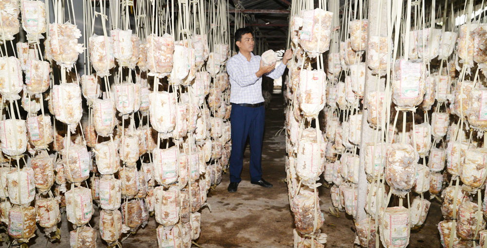 Hung Vuong cooperative, safe mushroom, Bac Giang province, hi-tech process, Safe  Vietnamese Mushroom, big supermarkets, annual profit, local labors