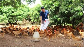 Gà thương phẩm Yên Thế tăng từ 3 đến 5 nghìn đồng/kg