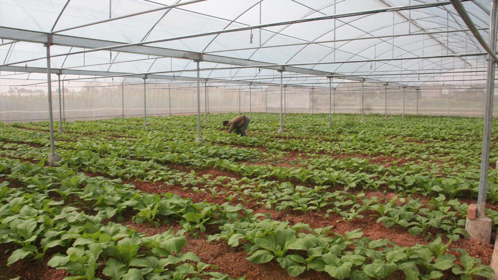 Hình thành nhiều vùng sản xuất rau tập trung