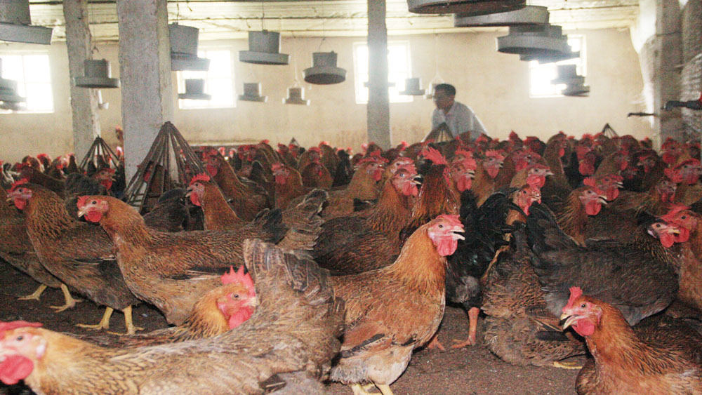 Hiệp Hòa các hộ dân nuôi gần 2 triệu con gà