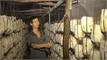 Lãi hàng trăm triệu đồng từ trồng nấm
