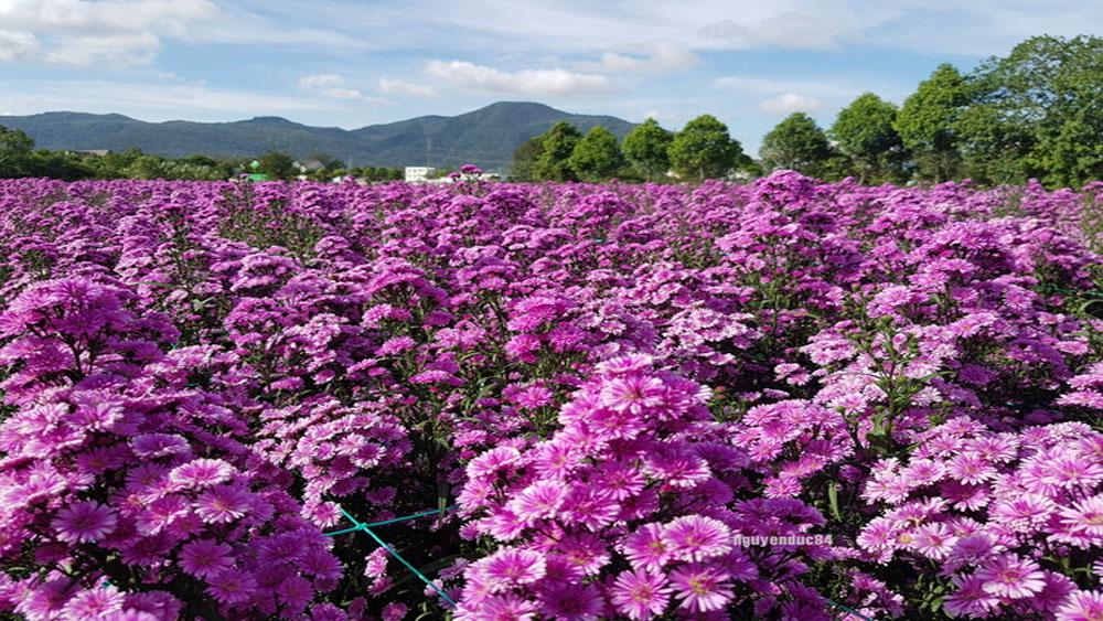 Vườn hoa thạch thảo gây sốt ở Bà Rịa -Vũng Tàu