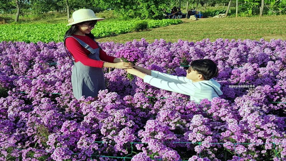 Vườn hoa thạch thảo, gây sốt, Bà Rịa, Vũng Tàu