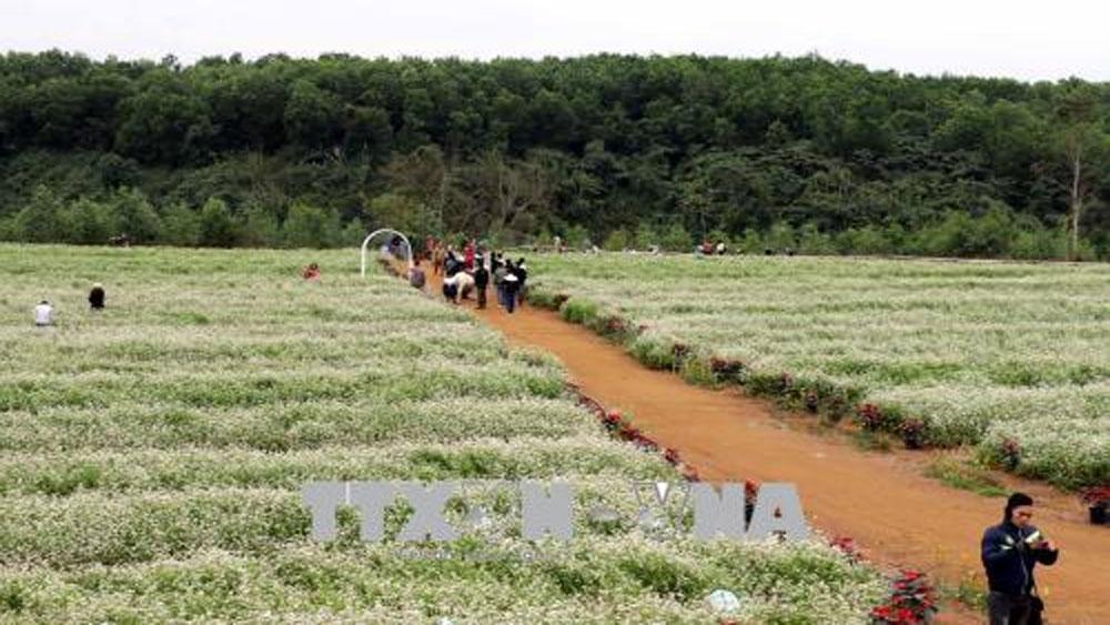 Đồi hoa tam giác mạch ở Nghệ An thu hút khách du lịch