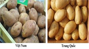 Nhận biết khoai tây Đà Lạt và khoai tây Trung Quốc
